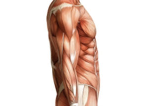 formation-massage-anatomie